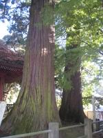 樹齢800年といわれる幡かけの杉