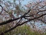 八重桜(鶴見大学生涯学習セミナー【平成22年度第1クール】B-19 日帰り美術観照スタディ・ツアー 神奈川の仏像IV ~伊勢原に仏像を訪ねて~)